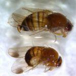 Azijska voćna mušica povećava brojnost. Neophodne mere kontrole ODMAH!
