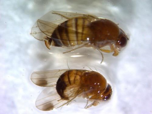 Azijska voćna mušica prisutna u voćnjacima. Obavezne sve mere kontrole!