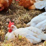 Organska proizvodnja živine – izbor rasa i hibrida i dužina odgoja