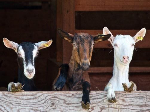Kozarnik graditi tako da koze u njemu uživaju – saveti