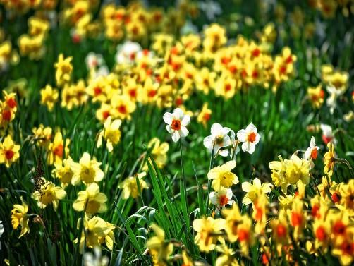 Narcis lep cvet, a i koristan