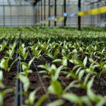 """Kvalitetan rasad """"Carske bašte"""" za uspešnu proizvodnju povrća"""