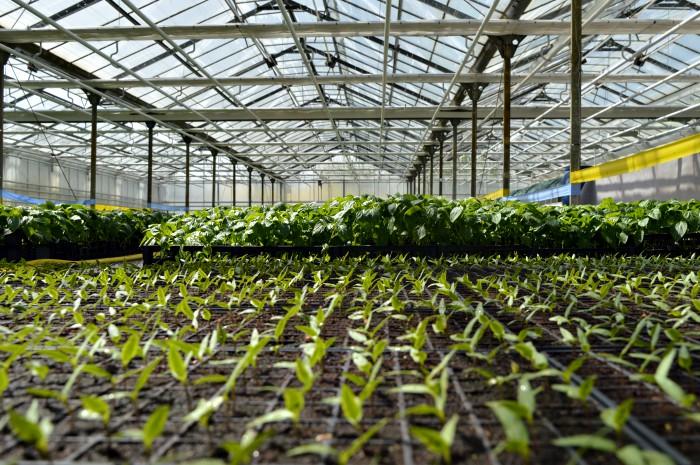 Jantarna kiselina podstiče rast i jača imunitet biljke