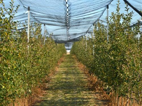 Pravilan izbor sorti i najbolji raspored u voćnjaku – saveti