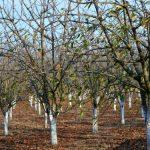 Štetočine u voćnjaku prezime na deblu, granama, korenovom vratu…