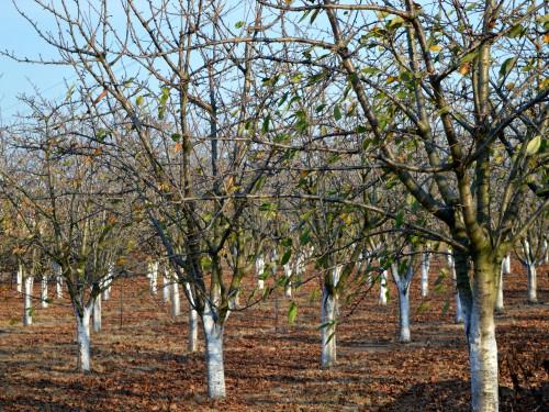 Bakteriozno sušenje koštičavih voćnih vrsta – Mere zaštite