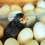Uslovi za pravilnu inkubaciju jaja za kvalitetne piliće