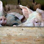 Doneta naredba o merama za sprečavanje širenja afričke kuge svinja