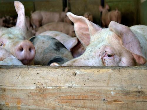 Kuga svinja kod komšija. Zaštitimo naše životinje