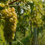 Registracija vinograda upisom u Vinogradarski registar