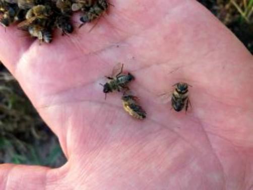 SPOS poziva pčelare i poljoprivrednike da anonimno prijave trovače pčela