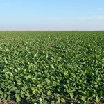 Zaštita uljane repice u narednom periodu