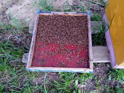 Ponovo masovni pomor pčela u kikindskom ataru