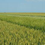 Cena pšenice dostigla svoj petogodišnji maksimum