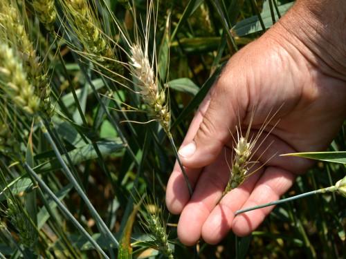 Izvesno smanjenje ovogodišnjeg roda pšenice
