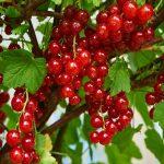 Ribizla, crna ili crvena, perspektivna voćna vrsta