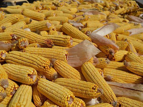 Kako pravilno podesiti dvoredni berač kukuruza