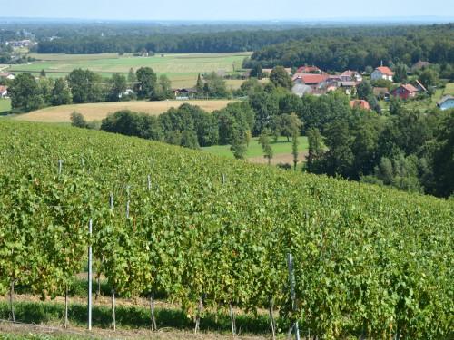 Zaštitimo vinovu lozu od prouzrokovača plamenjače i pepelnice