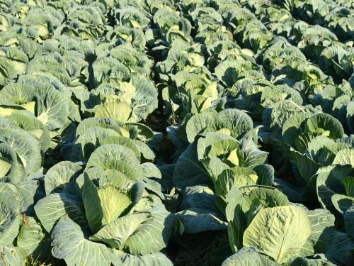 Kila kupusa – Plodored najvažnija mera kontrole bolesti