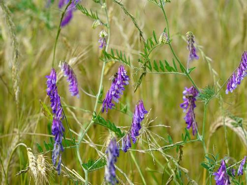 Grahorica je značajna krmna biljka korisna i za zemljište