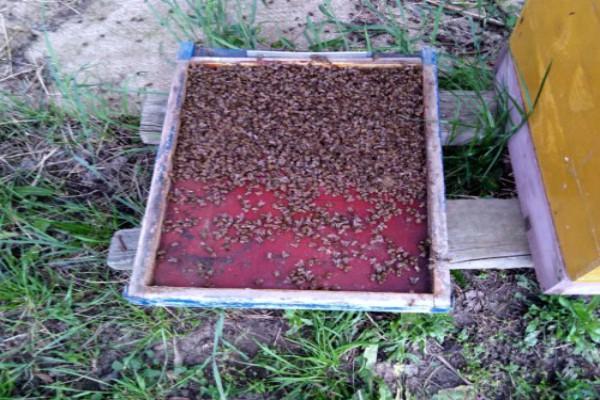 Zabranjeni insekticid fipronil otrovao pčele u kikindskom ataru