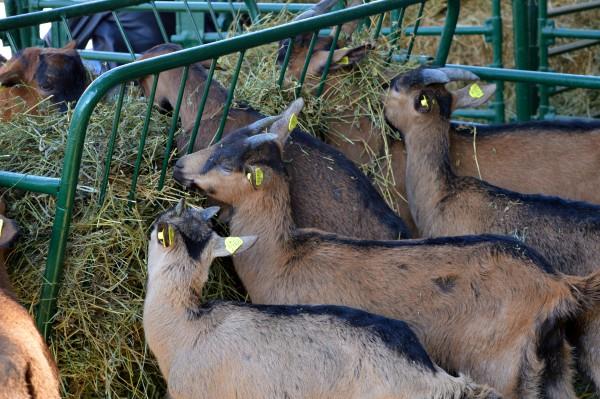 Osnovano Udruženje kozara Srbije koje će zastupati interese odgajivača koza