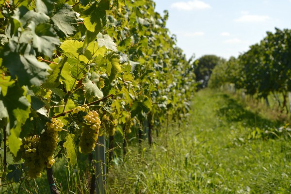 Organizacija zaštite vinove loze od najznačajnijih bolesti