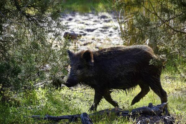 Registrovana afrička kuga kod divljih svinja u Srbiji