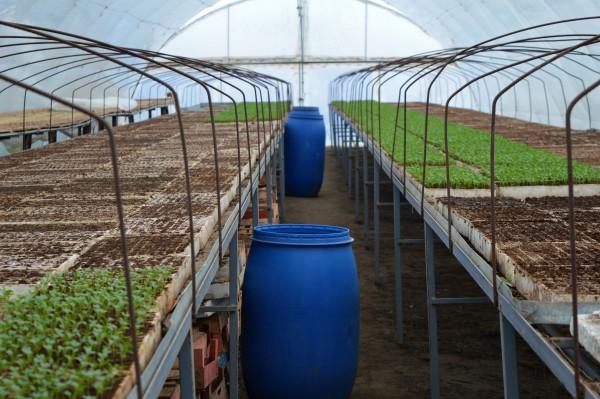 Proizvodnja rasada paradajza (objekti, setva)