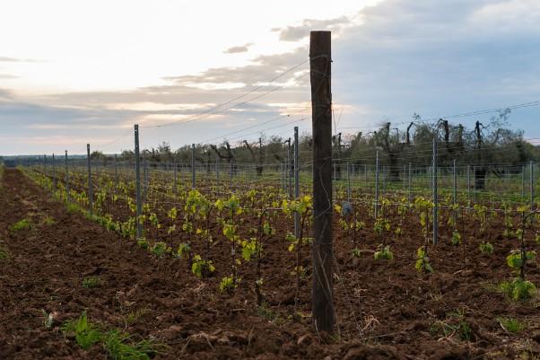 Sadnja vinove loze – Vreme i način, nekoliko saveta