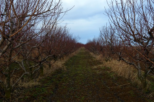 Zaštita breskve i nektarine od gljive koja prouzrokuje kovrdžavost lista