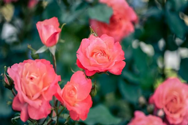 Sadnja ruža u baštama na osunčanom i provetrenom mestu