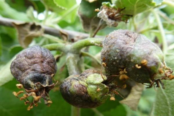 Bakteriozna plamenjača jabučastog voća registrovana u jabučnjacima
