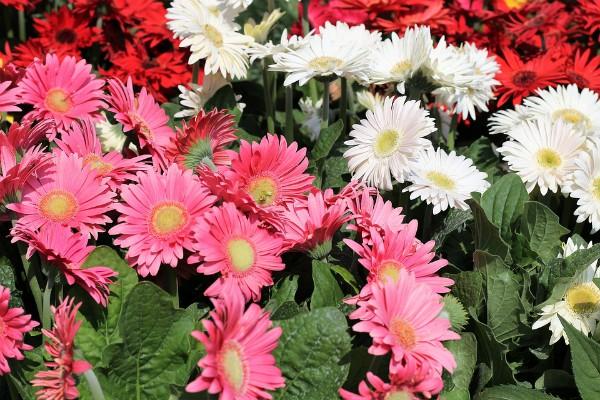 Gerber je lep i postojan cvet. Kako ga proizvesti i negovati?