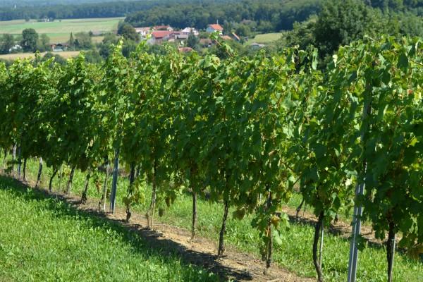 Podsticaji za podizanje vinograda – Objavljen Pravilnik