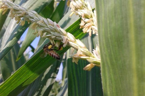 Kukuruz je potreban pčelama jer proizvodi veliku količinu polena