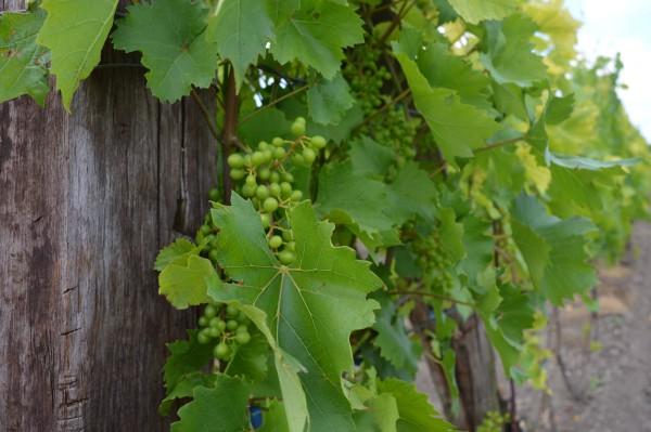 Za podizanje vinograda podsticaji od 60 % od vrednosti investicije
