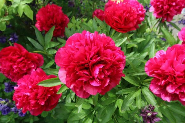 Božur sadimo u jesen, a u cvetovima uživamo u proleće