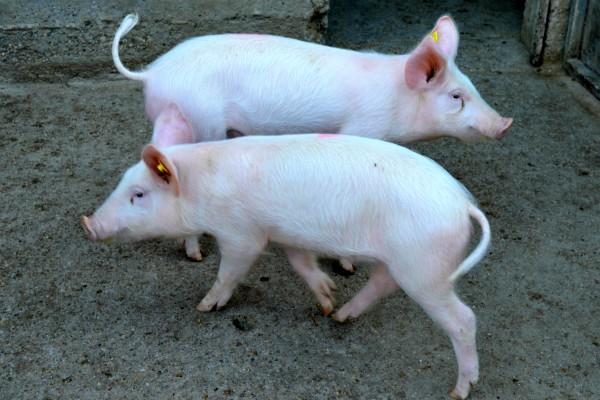 Afrička svinjska kuga potvrđena u Nemačkoj kod divlje svinje