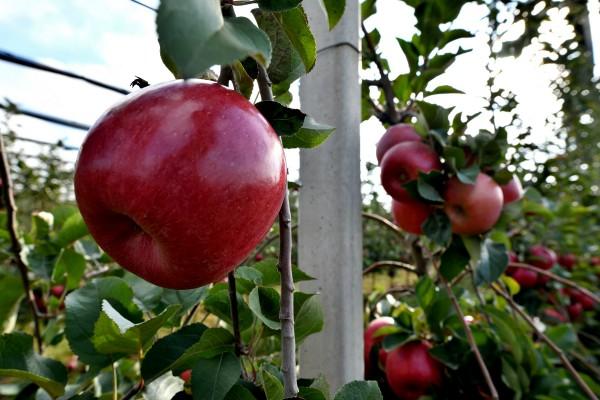 Iz MK grupe pokrenut izvoz jabuka za Indiju