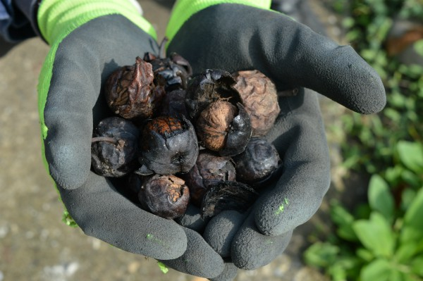 Orah – Kada obaviti berbu i kako beliti ljusku i čuvati plodove