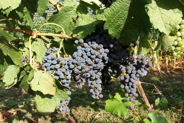Stono grožđe – Nekoliko saveta o sortimentu, berbi, čuvanju