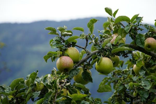 Organska proizvodnja jabuke – Kako kontrolisati korove?