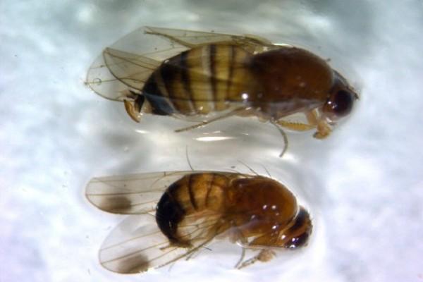 Azijska voćna mušica ugrožava ranostasno voće i vinograde
