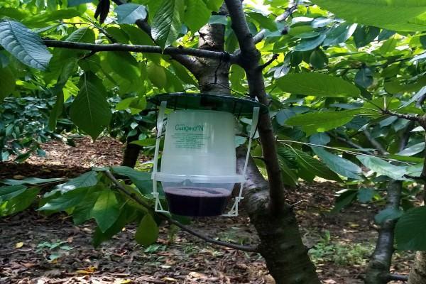 Upozorenje voćarima! Visok rizik od nastanka šteta od azijske voćne mušice