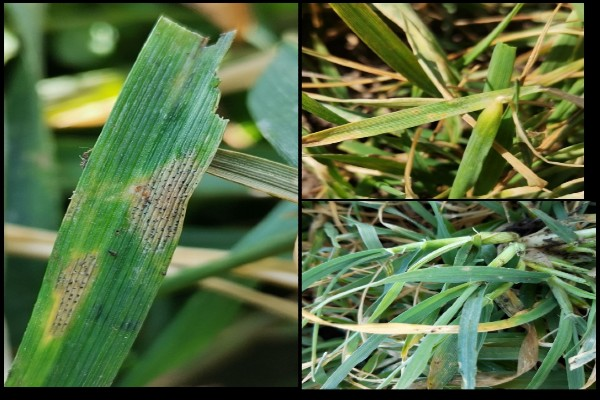 Zaštita pšenice registrovanim fungicidima