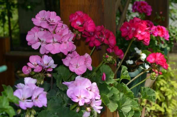 Muškatle su cvetni ukrasi balkona i vrtova – Sadnja i nega