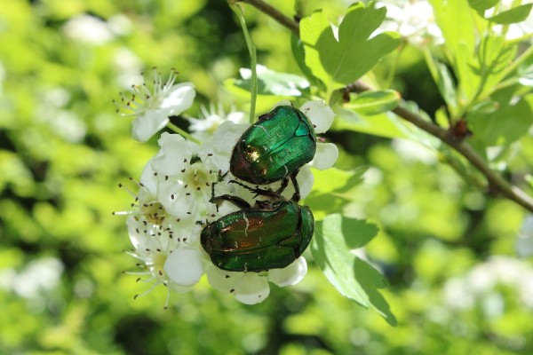Ružin gundelj se hrani cvetovima, nektarom, plodovima. Kako odbraniti biljke?