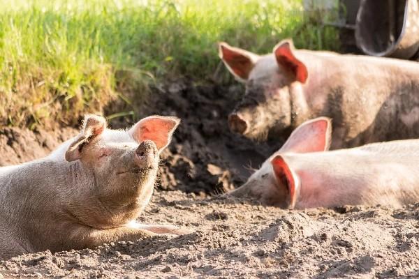 Read more about the article Kako da pomognemo svinjama kada su letnje vrućine? – Nekoliko saveta