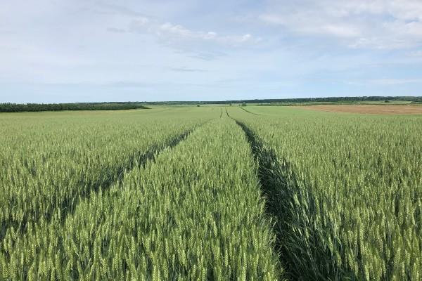 Read more about the article Sorte pšenice i ječma za rekordne prinose